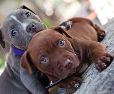 Do you love Pitbull? If yes read the types of Pitbull Breeds that are really popular right now. This list of Pitbull breed is very famous because of their extra ordinary characteristics Amstaff Terrier, Pitbull Terrier, Pitbull Pups, Red Pitbull, Bully Pitbull, Cute Puppies, Cute Dogs, Dogs And Puppies, Doggies