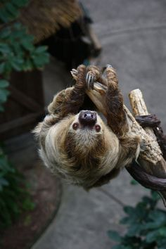 "funkysafari: ""Sloth by Mark Dumont "" Cute Baby Sloths, Cute Baby Animals, Funny Animals, Small Animals, Cute Sloth Pictures, Three Toed Sloth, Tier Fotos, My Spirit Animal, Fauna"