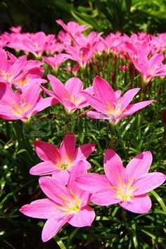 Pink rain lily (Zephyranthes) | Plants, flowers, garden