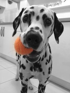 My ball!...... Dalmatian