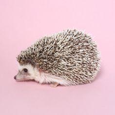 Priscilla hog