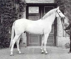"The Polish-bred Araiban stallion Fetysz ox (Bakszysz ox X Siglavi Bagdady ox) was aquired in a stallion exchange between the stud farms at Janow Podlaski and Trakehnen in 1936 for the purpose of refining Trakehner bloodstock. He was considered a ""magic"" horse, possessing a beautiful head and graceful neck with outstanding withers and shoulders. Fetysz was evacuated in 1944 after an attack on Graditz and never found again."