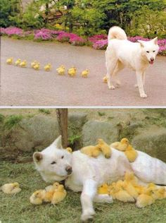 Dog and ducklings...real life picture to go with the story The Wolf's Chicken Stew!  My students will love it!