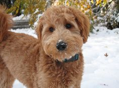 Actually, there are no size classifications for the adult mini Goldendoodle dog. It is kind of difficult to know the exact size of a Mini Goldendoodle will grown as the adult. Goldendoodle Full Grown, F1b Mini Goldendoodle, Goldendoodle Haircuts, Goldendoodle Grooming, Dog Grooming, Goldendoodles, Dog Haircuts, Labradoodles, Miniature Schnauzer Puppies