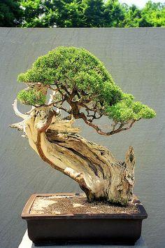 Upright Literati Juniper Bonsai - growing out of a piece of wood