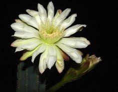cactus flowers pictures | Cactus. Flower. Photo