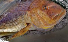 Dentex dentex, conosciuto comunemente come dentice è un pesce d'acqua salata appartenente alla famiglia degli Sparidae. Pescato da Cristian. #guidofrilli