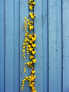 I've always loved blue and yellow together. This colorful and unique photo comes courtesy of the Mellow Yellow, Blue Yellow, Yellow Leaves, Colour Yellow, Bright Yellow, Cobalt Blue, Color Pop, Happy Colors, Blue Aesthetic