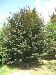 Fagus sylvatica 'Purpurea':  Deer Resistant European beech is a large deciduous tree with a dense, upright-oval to rounded-spreading crown.