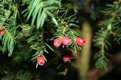 Eibe - Taxus baccata † Wir kennen die Eibe vor allem als Friedhofsbaum. Nach keltischem Glauben sollen die Wurzeln der Eibe bis in die Münder der Toten wachsen. Im keltischen Jahresrad steht die Eibe für den Tod der Sonne. Sie gehört zu den heiligen Bäumen der Druiden und aus ihrem Holz wurden die […]