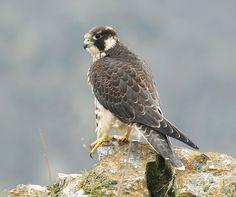 Peregrine Falcon Pretty Birds, Love Birds, Beautiful Birds, Animals Beautiful, Birds Of Prey, Peregrine Falcon, Backyard Birds, Animal Totems, Nature Animals
