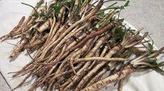 Estudo canadense mostra que a raiz desta planta destrói o câncer em semanas