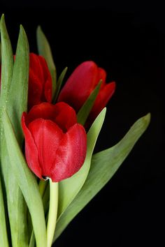 Red Tulips By Gillian Dernie We have beautiful flowers & Gifts whi. Red Tulips, Tulips Flowers, All Flowers, Amazing Flowers, Fresh Flowers, Beautiful Flowers, Send Flowers, Online Florist, Orchids