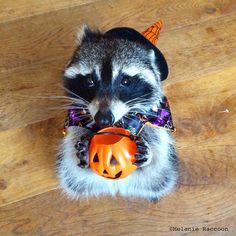 Happy Halloween. Melanie #Raccoon https://www.facebook.com/Melanie-Raccoon-1449719475329497/