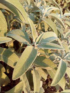 Day 99 #ΑνώνυμοςΒικιπαιδιστής #wikipedia #wikicommons #ΣχολείοΒικιπαίδειας #Βικιπαίδεια #100wikicommonsdays  Φασκόμηλο Plant Leaves, Plants, Planters, Plant, Planting