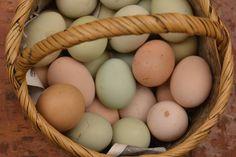 La gallina dalle uova verdi è della regione di Boyacà (nord della Colombia).  Queste uova hanno caratteristiche organolettiche simili alle altre, ma il loro colore unico permette di riconoscerne l'origine e il metodo di produzione. Il colore verde chiaro è una caratteristica genetica di queste galline.   ®Archivio Slow Food
