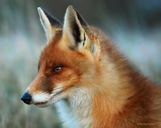 """Red Fox vixen by Foto Foosa on 500px """"This 1 year old Red Fox vixen is very special to me.  She was born with a slightly deformed lower jaw, which makes it harder for her to hunt for food.  Her lower teeth are smaller and not nicely aligned so the grip on a prey animal is less strong.  But still she manages to cope with the challenge of every day life and that is why I will always have a special place in my heart for her."""""""
