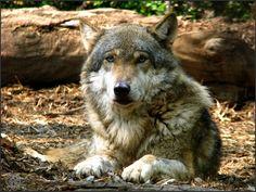 Eurasian wolf (Canis lupus lupus)