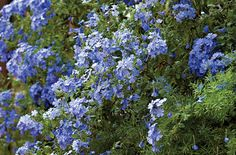 """Plumbago Cape -Plumbago Cape Native of South Africa. A deciduous, sprawling, densely mounded, vine-like shrub. Leaves are medium green, oblong, 1"""" - 2"""" long. Clusters of baby blue flowers spring through summer. Works as a ground cover or as a filler and can be trained vertically. Good for erosion control. Fast growth rate."""