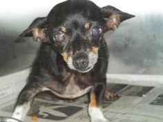 """URG'T ~ FLORIDA PAN-HANDLE ~ pinned 8/26/12 Senora """"Wiggles"""" is a Sr Chi in ISO 1-5 (11268) Wiggles is an #adoptable Chihuahua Dog in Defuniak Springs, FL. Adoption fee is 55.00. This fee includes spay/neuter, rabies (if old enough) and annual booster vaccines. It also includ..."""