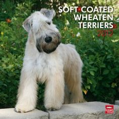 Wheaten Terriers, Soft Coated 2012 Square Calendar (Multilingual Edition) by BrownTrout Publishers Inc. $30.28