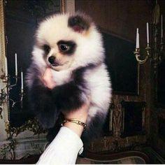Pomeranian dog looks like a panda
