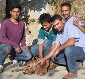Dr.Yogra, Kamlesh, Sanjay and Munna rescuing a sick calf. #dharamsala #animalsindia #volunteerindia #animalrescue #animalrescueindia