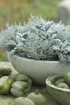 Calocephalus and helichrysum