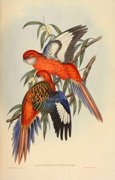 Rare set of John Gould's bird books for sale – in pictures – Bird Supplies Bird Artists, Nature Artists, Nature Illustration, Botanical Illustration, Bird Drawings, Animal Drawings, Flora, John Gould, Bird Book