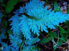 Iridescent fern relative:  Selaginella willdenowii