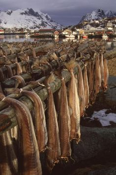 Stockfish (cod) production, Lofoten, Norway sent all over Europe