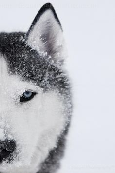 Siberian Husky, Alpha 8592 by Sooper-Husky love huskey eyes! what beautiful dogs, n so smart!