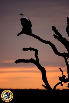Another beautiful picture from Jean-Paul Vermeulen: the end of the day in Gorongosa with a beautiful African Fish Eagle as a companion!http://on.fb.me/VVCxiM