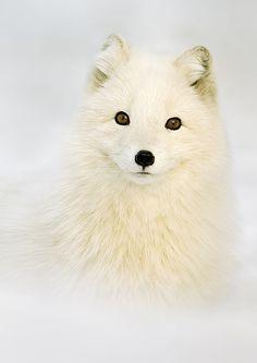 Arctic fox by Mark Davies on 500px