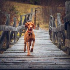 Little Dog Clothes .Little Dog Clothes Tiny Dog Breeds, Dog Breeds Little, Vizsla Puppies, Dogs And Puppies, Vizsla Dog, Labrador Puppies, Retriever Puppies, Weimaraner, Doggies