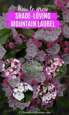 These tips on Mountain Laurel care are awesome! It's an evergreen bush with really pretty flowers that grows well in the shade. Learn all about how to grow Kalmia latifolia. #fromhousetohome #gardeningtips #shadeplants #gardenideas #mountainlaurel #plants Partial Shade Perennials, Shade Flowers Perennial, Shade Loving Shrubs, Shade Shrubs, Flowers Perennials, Shade Plants, Perennial Bushes, Kalmia Latifolia, Evergreen Bush