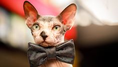 October is Be Bald And Free Day and its a perfect time to celebrate our hairless kitty friends. Theyre rockin the bald look and the results can be very entertaining! Sphynx Cat, Hairless Cats, National Pet Day, Baby Otters, Homeless Dogs, Pet News, Cute Cats And Kittens, Big Cats, All About Cats