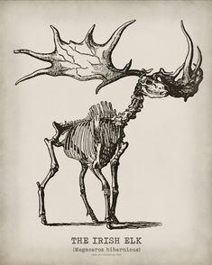 Irish elk (Megaloceros giganteus), also called the giant deer or Irish giant deer, is an extinct species of deer in the genus Megaloceros and is one of the largest deer that ever lived. Elk Skull, Skull Art, Animal Skeletons, Animal Skulls, Creature Concept Art, Creature Design, Line Art, Deer Skeleton, Irish Elk
