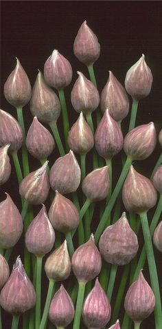 Chive buds by Horticultural Art