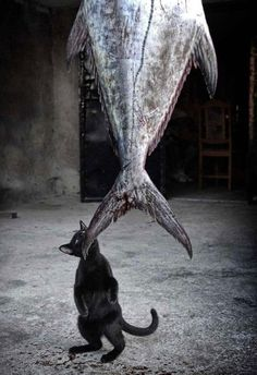 Was This Fish Hung Fresh Just For Me? This cat has a long way to go, but with wild jumping skills this feline could get pretty far–if only his stomach were larger! In fact, cats can jump on average around 5 to 6 feet. Cool Cats, I Love Cats, Big Cats, Cats And Kittens, Funny Cats, Funny Animals, Cute Animals, Crazy Cat Lady, Crazy Cats