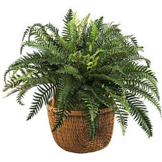 Green Boston Fern in Earthy Rattan Basket (150 CAD) ❤ liked on Polyvore featuring home, home decor, plants, filler, decor, цветы, home accessories et green home decor