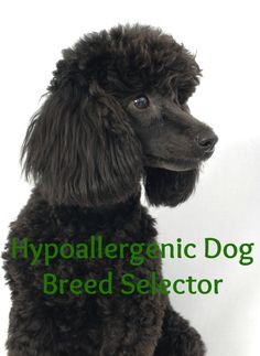Wondering which hypoallergenic dog is best for you? Check out these awesome dog breed selector tools and find your ideal allergy-free canine companion!