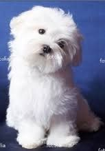 Maltese Dogs....toooo cute. Just want to cuddle this little one!