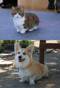 Munchkin cat and corgi!!