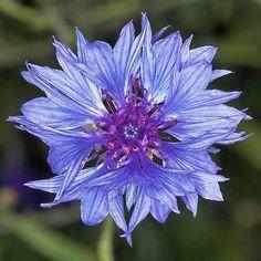 El Aciano, una planta medicinal para el reumatismo, digestiones lentas, vista cansada o varices ecoagricultor.com