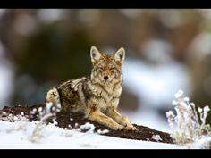 EXPOSED - USDA's Secret War on Wildlife