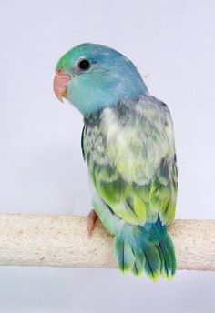 parrotlet--what a sweet wee bird