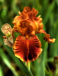 Iris - gorgeous copper colour - I would like to grow this