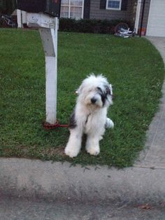 11 Best My olde english sheepdog/cockapoo mix  His name is