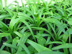 Sagittaria subulata http://stores.ebay.co.uk/Live-Aquarium-Pond-Plants-Shop?_trksid=p2047675.l2563